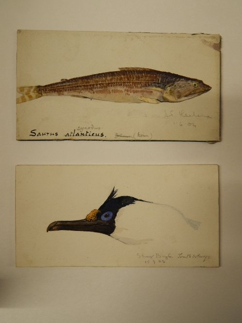 Cuthbertson drawings of an Atlantic lizardfish and the head of a Shag