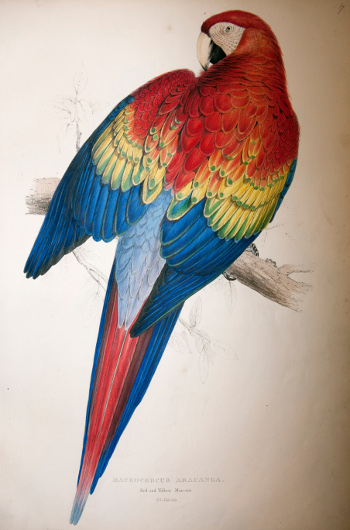 Illustrations of the family of Psittacidae, or parrots... by Edward Lear. Size: 530 × 350. Image copyright ZSL 